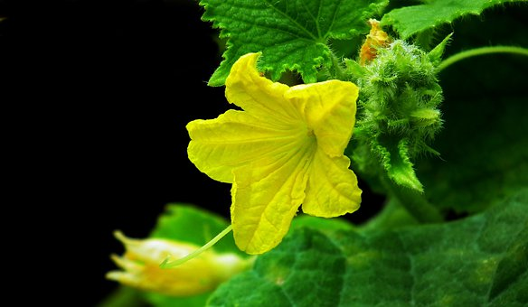 Cucumber, Flower, Yellow, Vegetables Leaves, Nature
