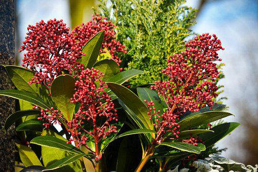 Flower, Skimmia Japonica Rubella, Shrub, Vegetable