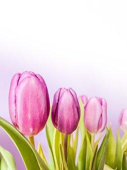 Tulip, Spring, Tulips, Flowers, Garden, Bloom, Nature