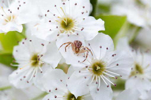 Spider, Pear Blossom, Flowers, Arachnid, Animal, Spring