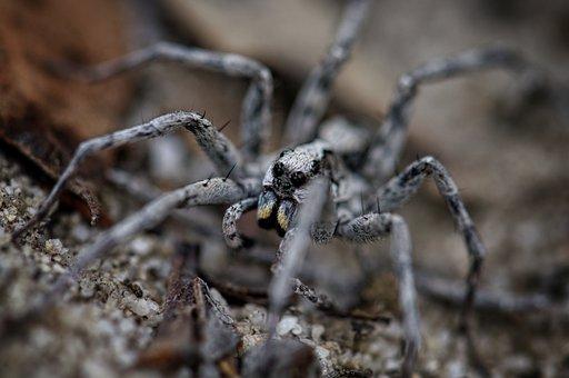 Spider, Wolf Spider, Hunting, Legs, Nature, Arachnid