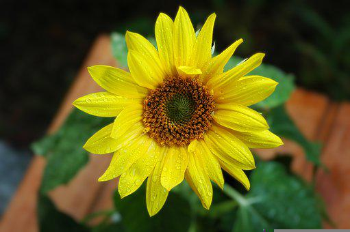Sunflower, Late Summer, Colorful, Blossom, Bloom, Plant