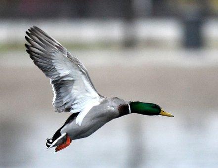 Duck, Mallard, Bird, Hunting, Wildlife, Drake