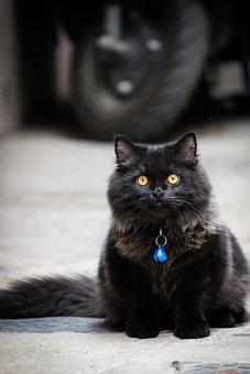 Persian Kitten, Cat, Persian, Kitten, Pet, Animal, Cute