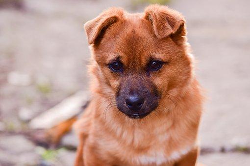 Dog, Brown, Cute, Puppy, Animal, Pet, Canine, Portrait