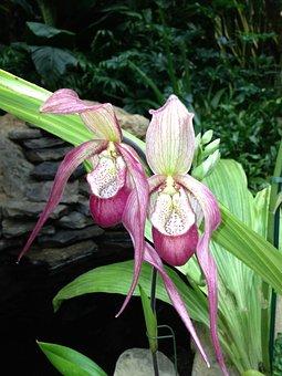 Lady Slipper Orchid, Rare Orchid, Phragmipedium, Orchid