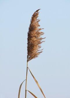 Reed, Plant, Phragmites Australis, Waterfront
