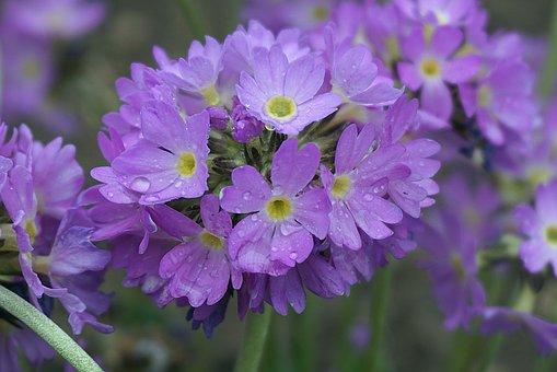 Primula, Prymulki, Violet, Drops Of Water