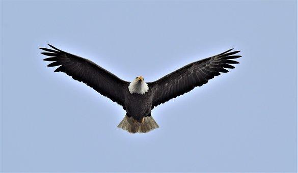 Bald Eagle, Bird, Raptor, Animal, Bill, Nature, Beak