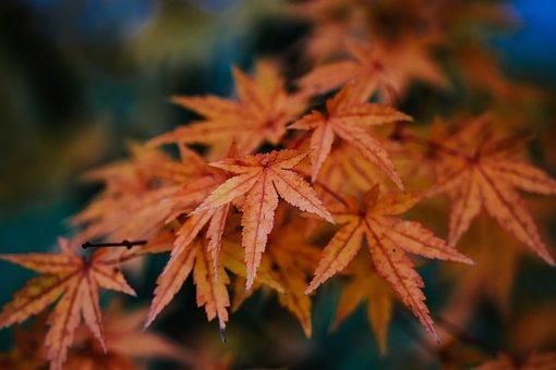 Maple, Leaf, Orange, Red, Autumn, Fall, Leaves, Nature