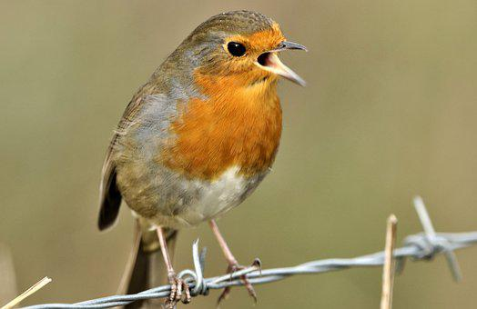 Robin, Robin Redbreast, Bird, Wildlife, Animal, Nature