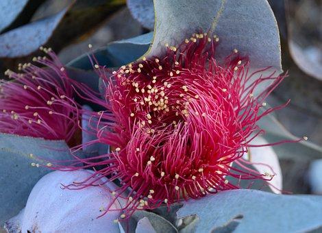 Australian, Native, Flower, Eucalypt, Tree, Eucalyptus