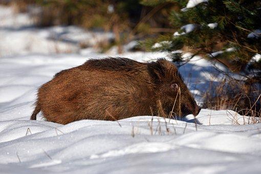 Wild Boar, Wild, Animal, Forest, Nature, Tree, Młodnik