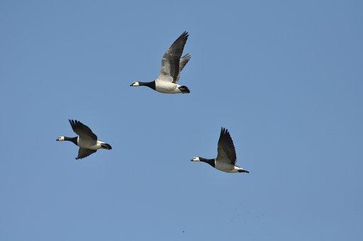 Barnacle Goose, Wild Goose, Water Bird, Goose