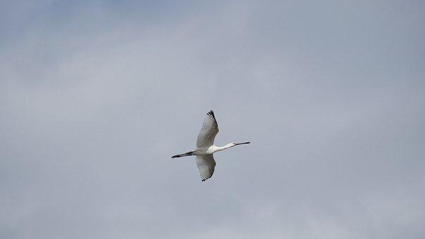 Löffler, Netherlands, Maas, Nijmegen, Ibis, Water Bird