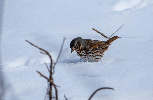 Bird, Avian, Wildlife, Sparrow, White, Throated, Snow