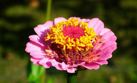 Zinnia, Flower, Plant, Garden, Colored, Pink, Nature