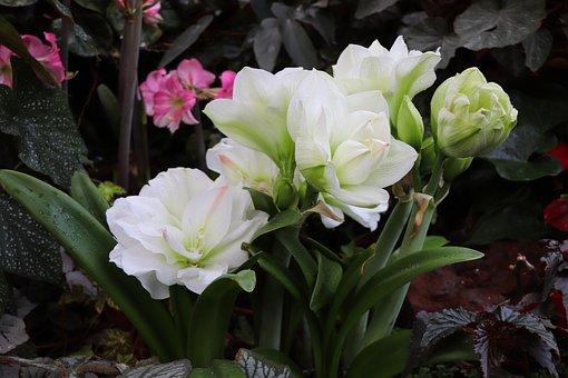 Flowers, Hippeastrum, Amaryllis, Plant, Bulbous