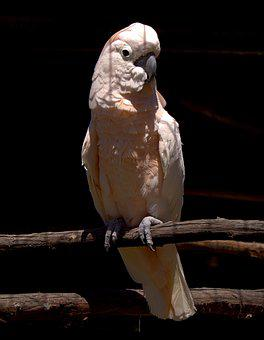 Cockatoo, Bird, Branch, Perched, Parrot, Animal