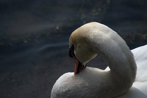 Nature, Bird, Animal, Swan, Wildlife, Water