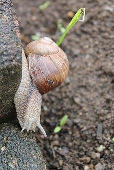 Snail, Animal, Rock, Stone, Gastropod
