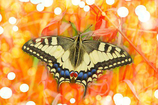 Swallowtail, Butterfly, Insect, Animal, Wings