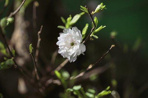Apricot Blossom, Flower, Branch, Plum Blossom