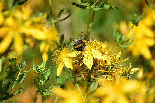 Bee, Flowers, Yellow, Bumblebee, Insects, Nature