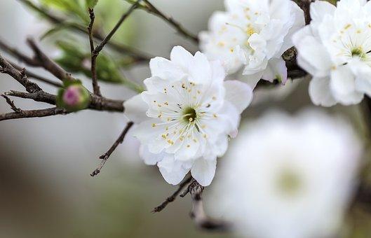 Apricot Blossom, Flowers, Branch, Plum Blossom