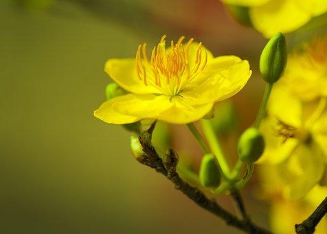 Apricot Blossom, Flower, Branch, Buds, Plum Blossom