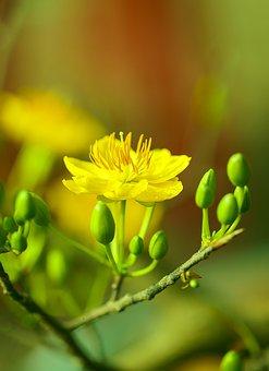 Apricot Blossom, Flower, Buds, Branch, Plum Blossom