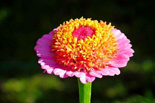Zinnia, Flower, Plant, Garden, Colored, Nature, Closeup
