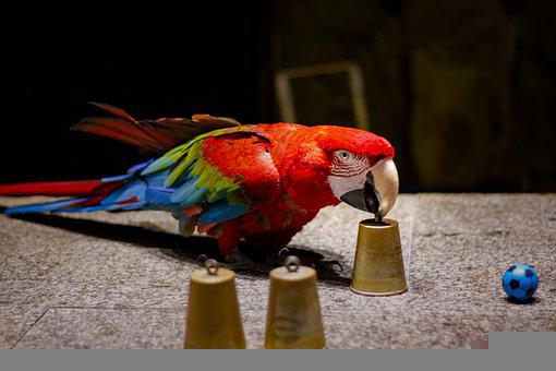 Parrot, Ara, Bird, Trick, Show, Trained, Ball, Colorful