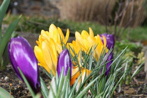 Crocus, Spring, Spring Awakening, Early Bloomer