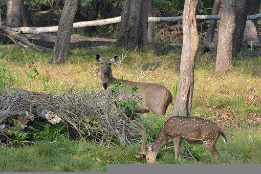 Forest, Sambar, Deer, Sanctuary, Travel, Wildlife