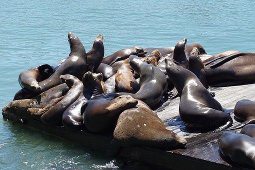 Seals, Dock, Water