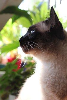 Cat, Domestic Cat, Thai Siam, Portrait, View, Whiskers