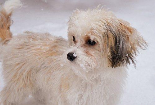 Dog, Pet, Snow, Play, Fur, Animal, Domestic Dog, Canine