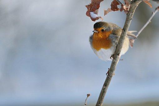 Robin, Bird, Branch, Perched, Animal, European Robin