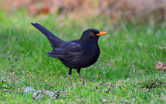 Bird, Black, Blackbird, Small, Feathers, Wing, Tail