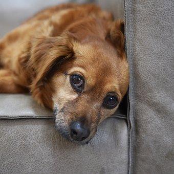 Dog, Pet, Animal, Furry, Cute, Fur, Look, Adorable