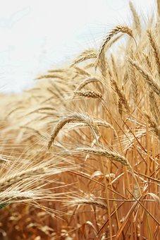 Wheat, Agriculture, Farmer, Grain, Harvest, Seed