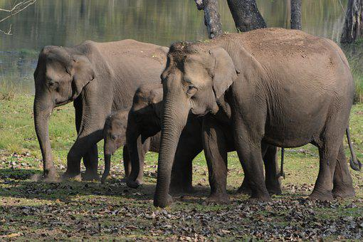 Forest, Elephants, Herds, Nature, Jungle, Elephant