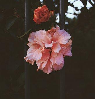 Hibiscus, Hibiscos, Salmão Color, Flower, Flores