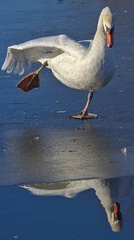 Swan, Ice, Leg, Mirroring, Winter, Nature, Bird, Lake