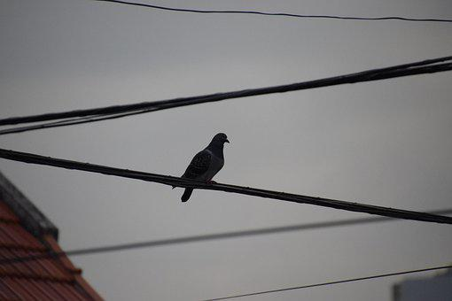 Bird, Paloma, Piggeon, Cable, Urban, Animal, Sky, Twigs