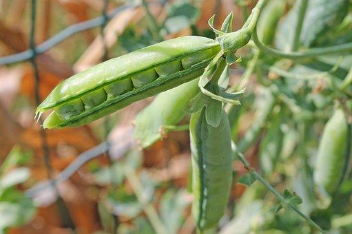 Pea, Seed Pod, Plant, Legumes, Vegetable, Pisum Sativum