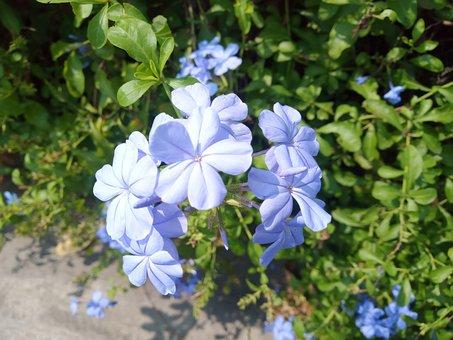 The Dusky Fog, Plumbago Guava, Flowers, Blue Flower