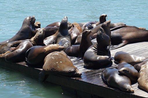 Seals, Dock, Ocean, San Francisco