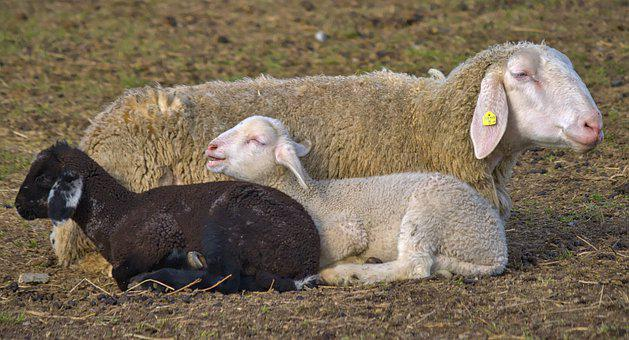 Sheep, Lamb, Easter, Wool, Animal, Mammal, Cute, Funny